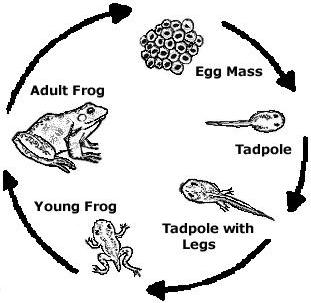 Leap Into A Frog Life Cycle And Dissection