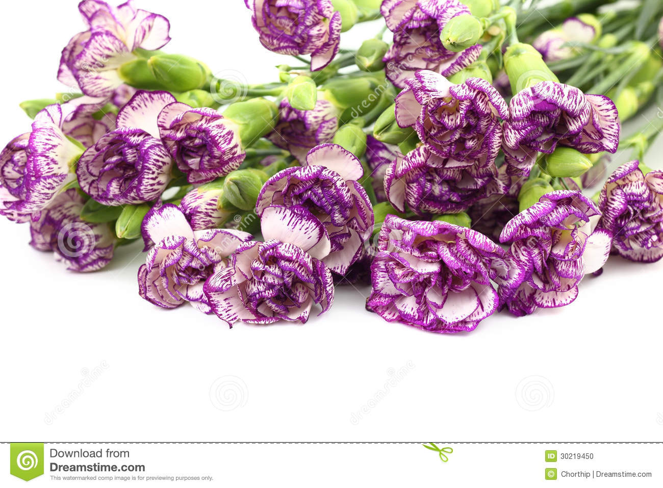 Purple Carnation Flower On White Background Stock Photo   Image