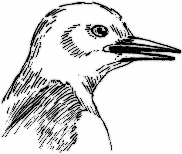 Beak Pointed   Http   Www Wpclipart Com Animals Birds Bird Parts Beak