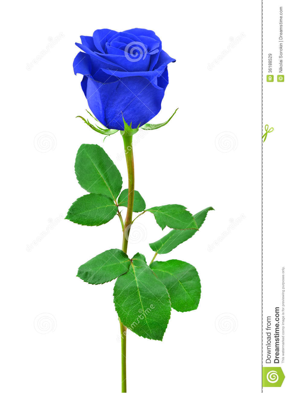 Blue Rose Royalty Free Stock Images   Image  36188529