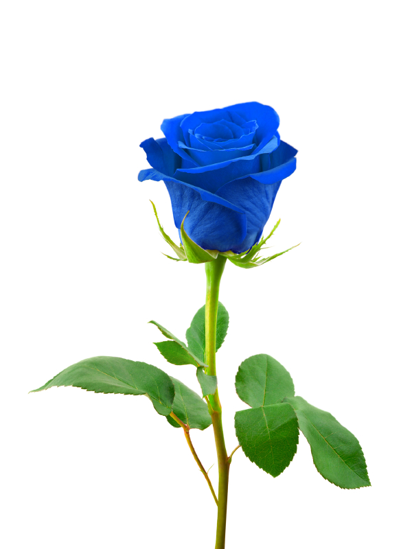 The Blue Rose Blog  Happy Valentine S Day   February 14