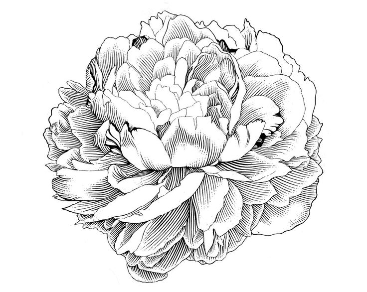Free Peony Clip Art To Use On Invitations Stationery Etc    Graphics