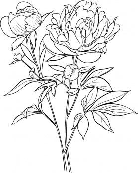 Paeonia Officinalis Or European Common Peony Drawings Coloring Pages