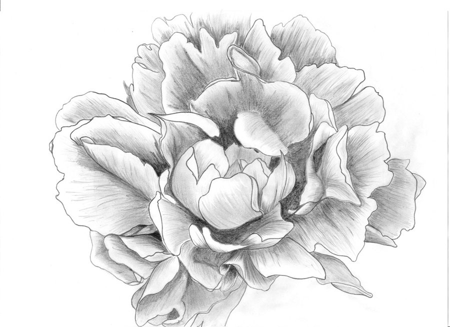 Peony Drawing   Free Vector Download