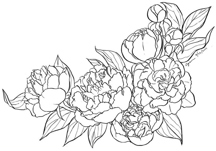 Gallery For gt Peony Drawing