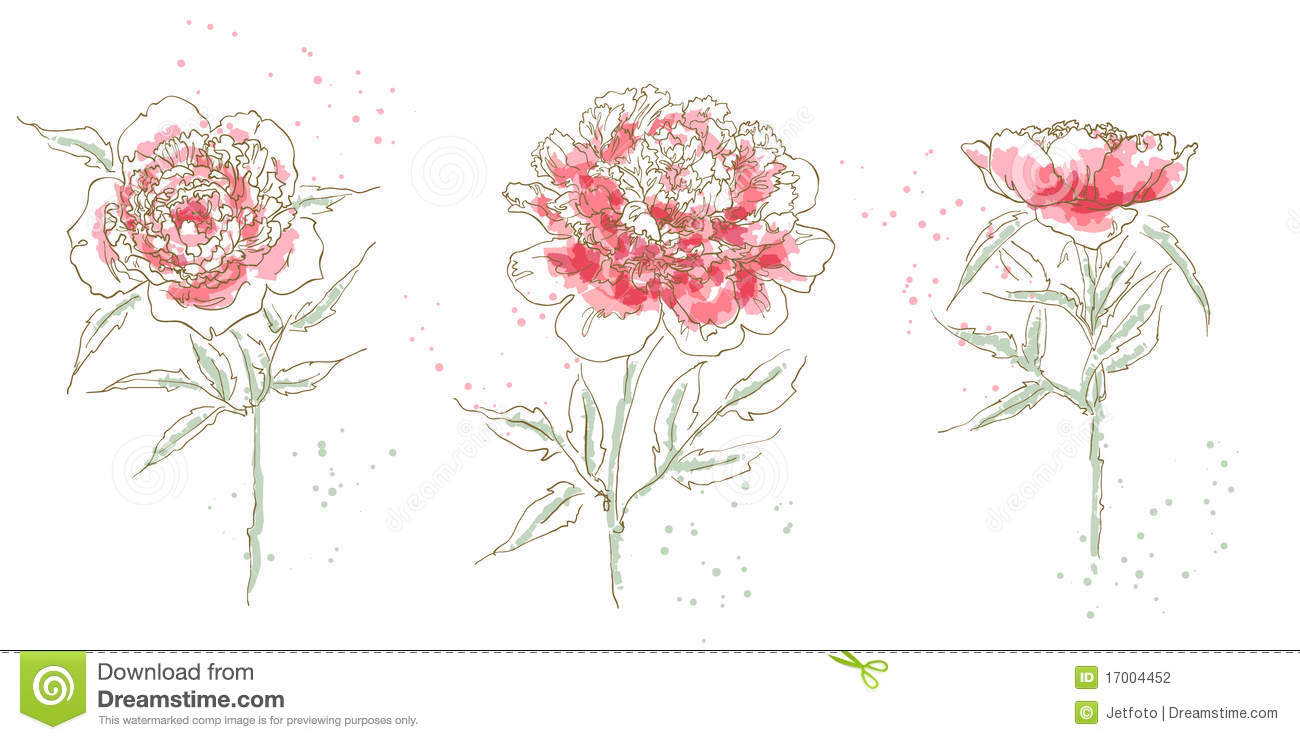 Three Drawn Peony Isolated On White Background