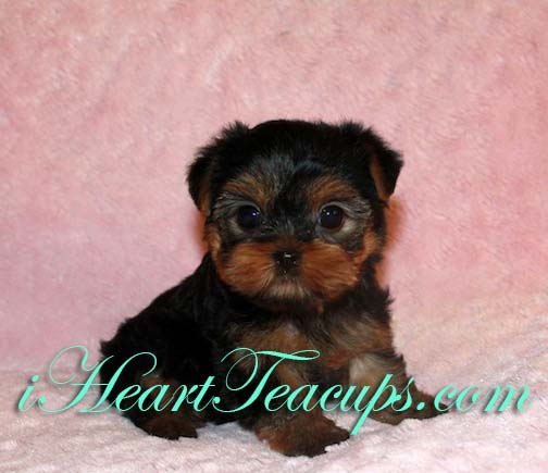 yorkie puppy names female what are some names for a female yorkie puppy 126