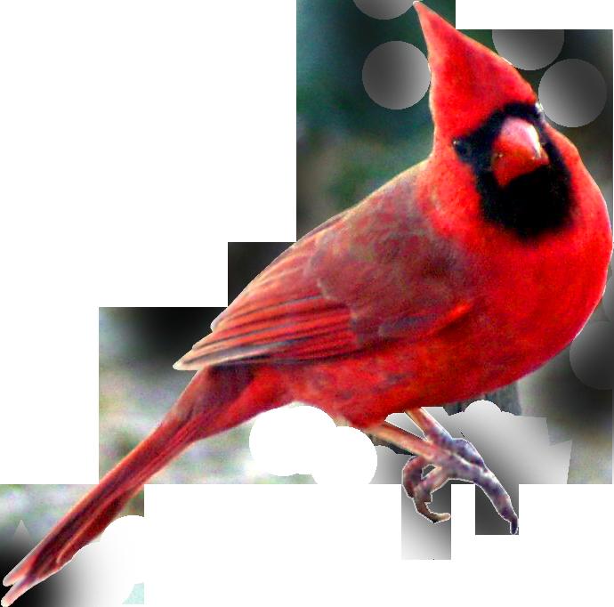 Clip Art Cardinal Clip Art winter cardinal clipart kid wjc s digital world mr and his gal pal