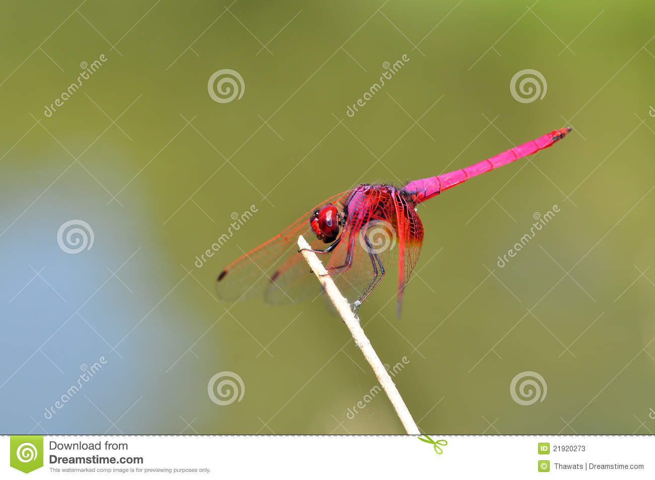 Pink Dragonfly Stock Photos   Image  21920273