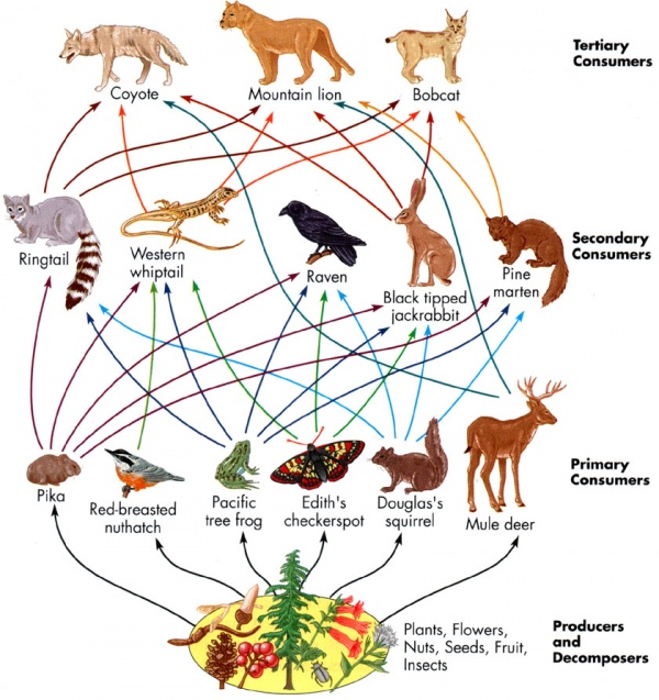 In This Food Web Of Many Food Chains Even If Edith S Checkerspot