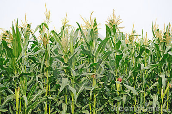 Corn Crops Clipart Download This Image As