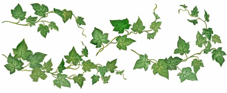 Ivy Leaf Vine Clipart - Clipart Kid