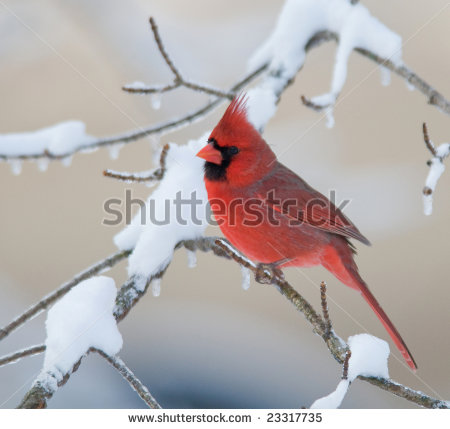 Winter Cardinal Clipart A Northern Cardinal Perched On