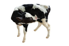 Baby Cow On A White Backgroundisolated Royalty Free Stock Photo