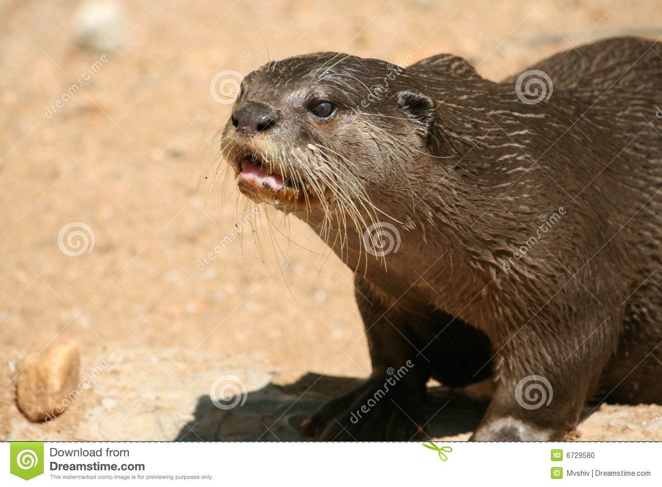 River Otter Stock Photo   Image  6729580