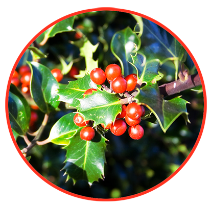 Holy With Red Berries Png