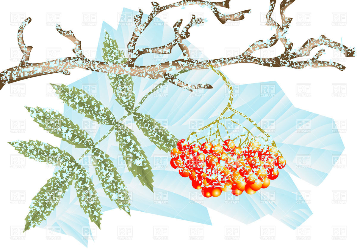 Mountain Ash And Winter Frost   Snowy Branch Of Berries Of Rowan