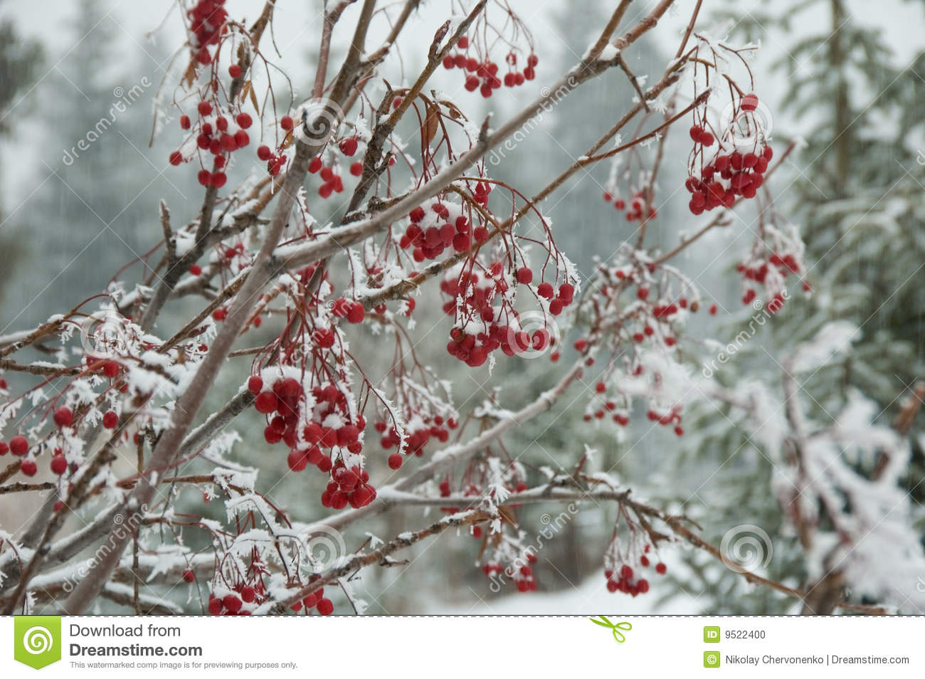 Winter Berries In A Wood On A Background Of Fur Trees