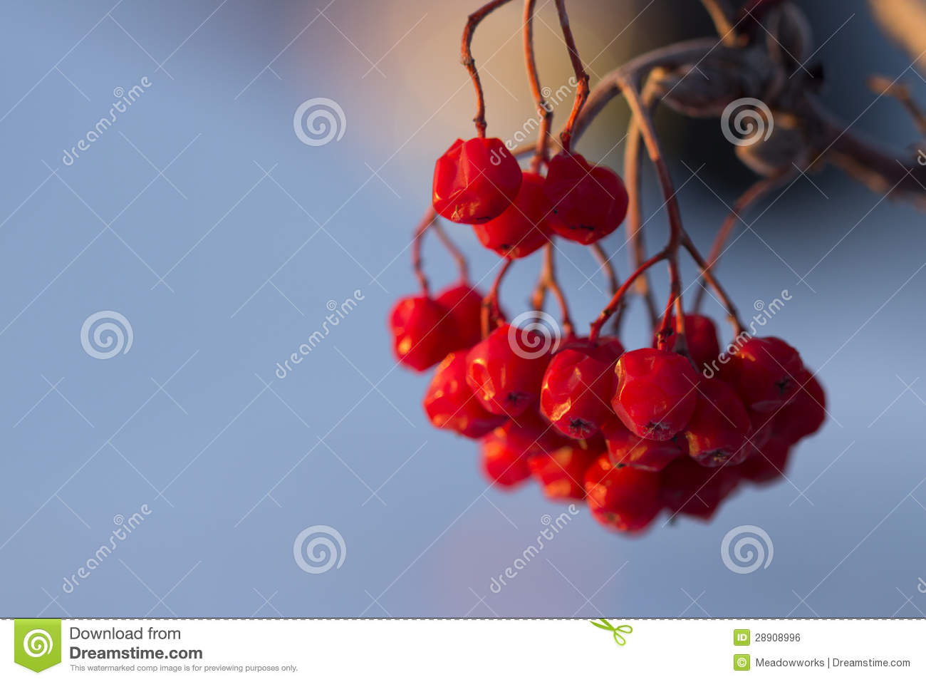 Winter Berries Royalty Free Stock Image   Image  28908996