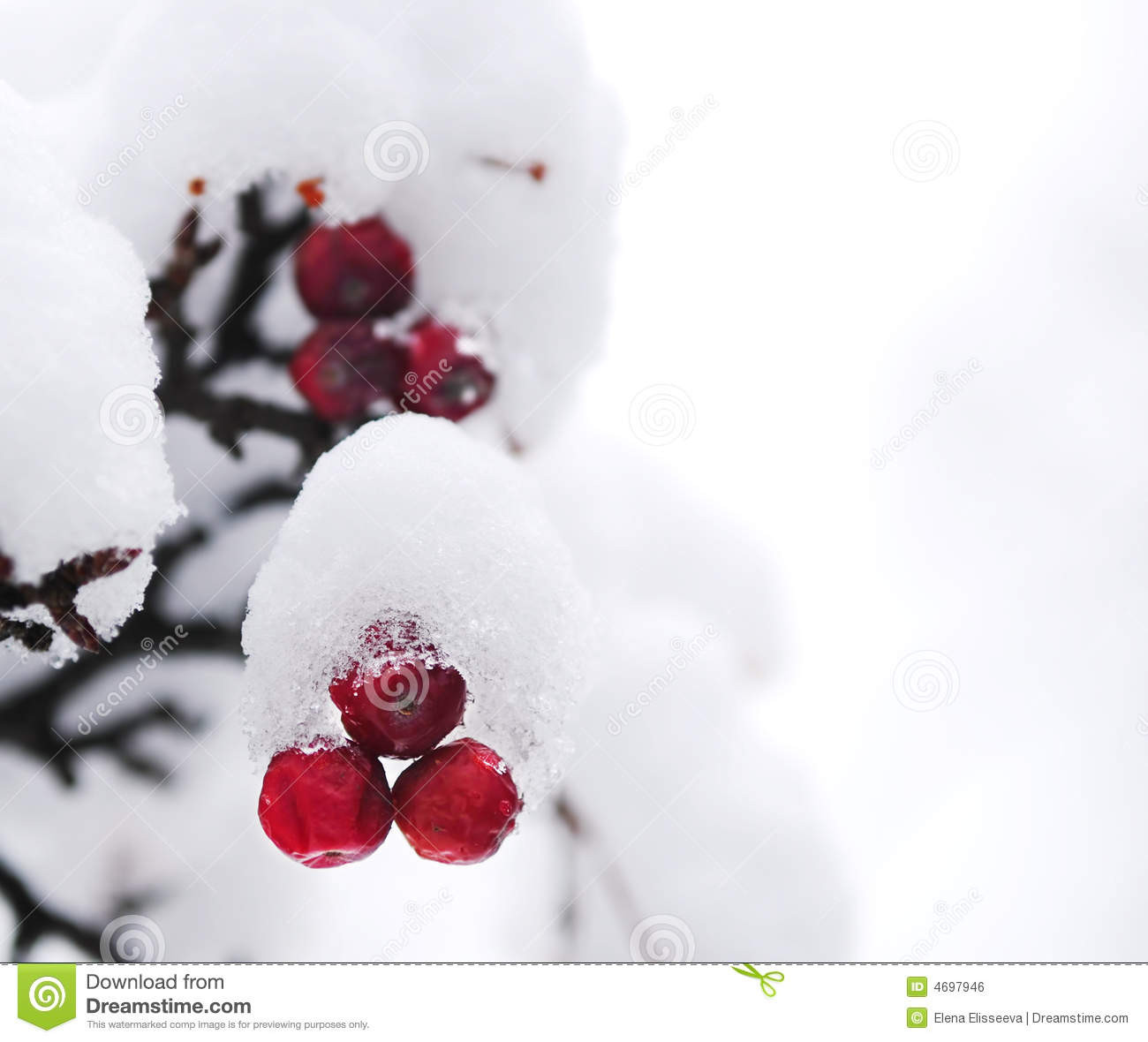 Winter Berries Royalty Free Stock Image   Image  4697946