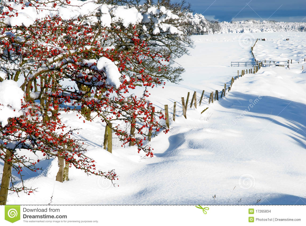 Winter Berries Stock Images   Image  17265834