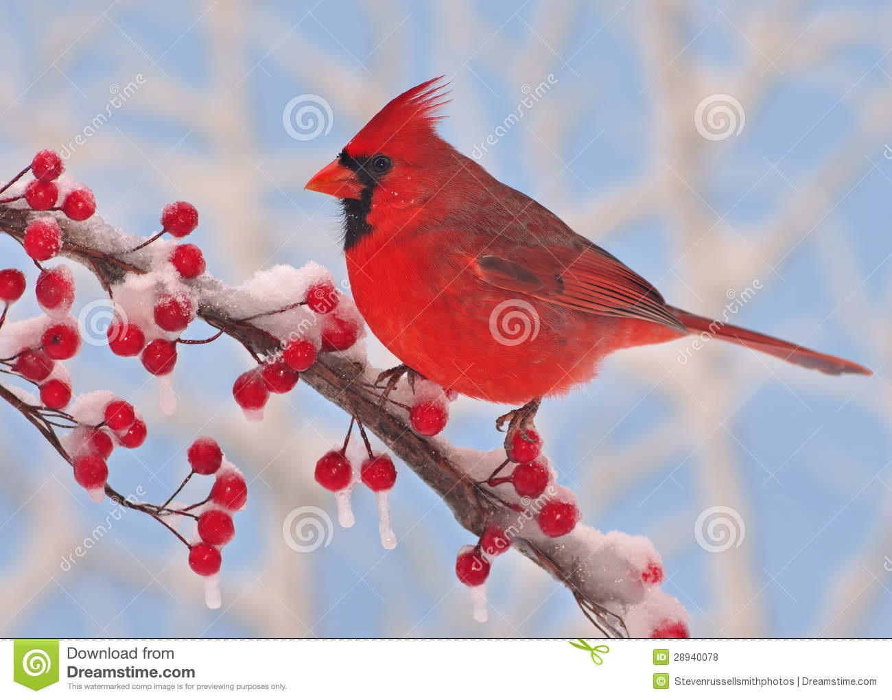 Winter Male Northern Cardinal On A Snowy Branch Full Of Bright Red