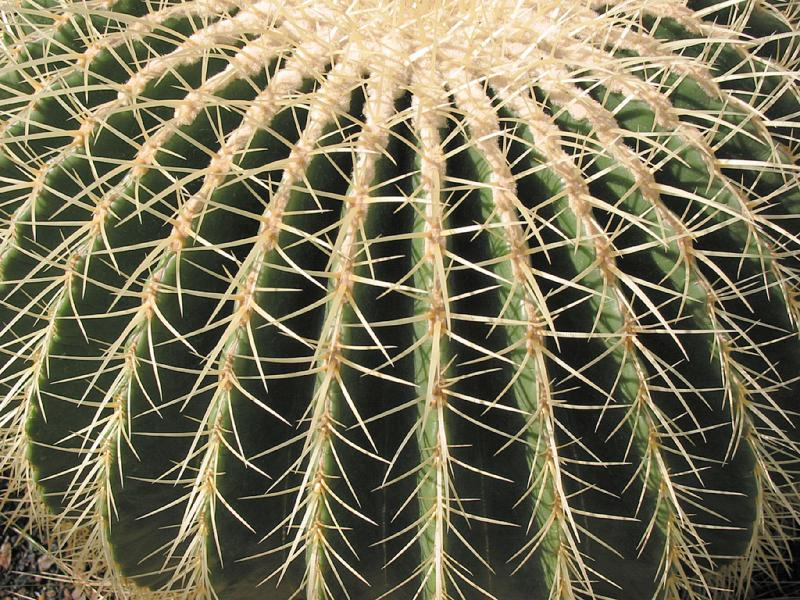 Barrel Cactus   Symmetry In Nature Photo   Allan Levin Photos At Pbase