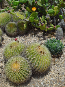 Cactus Photo Clipart Image  Barrel Cactus And Prickly Pear Cactus With