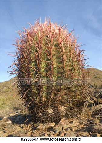 Picture   Arizona Barrel Cactus  Fotosearch   Search Stock Photography