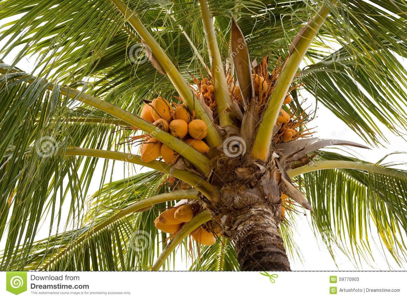 Asian Nut Bearing Palms