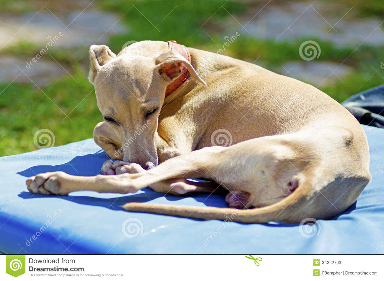 Small Fawn   Brown Italian Greyhound Dog Lying Down  Grey Hounds Are