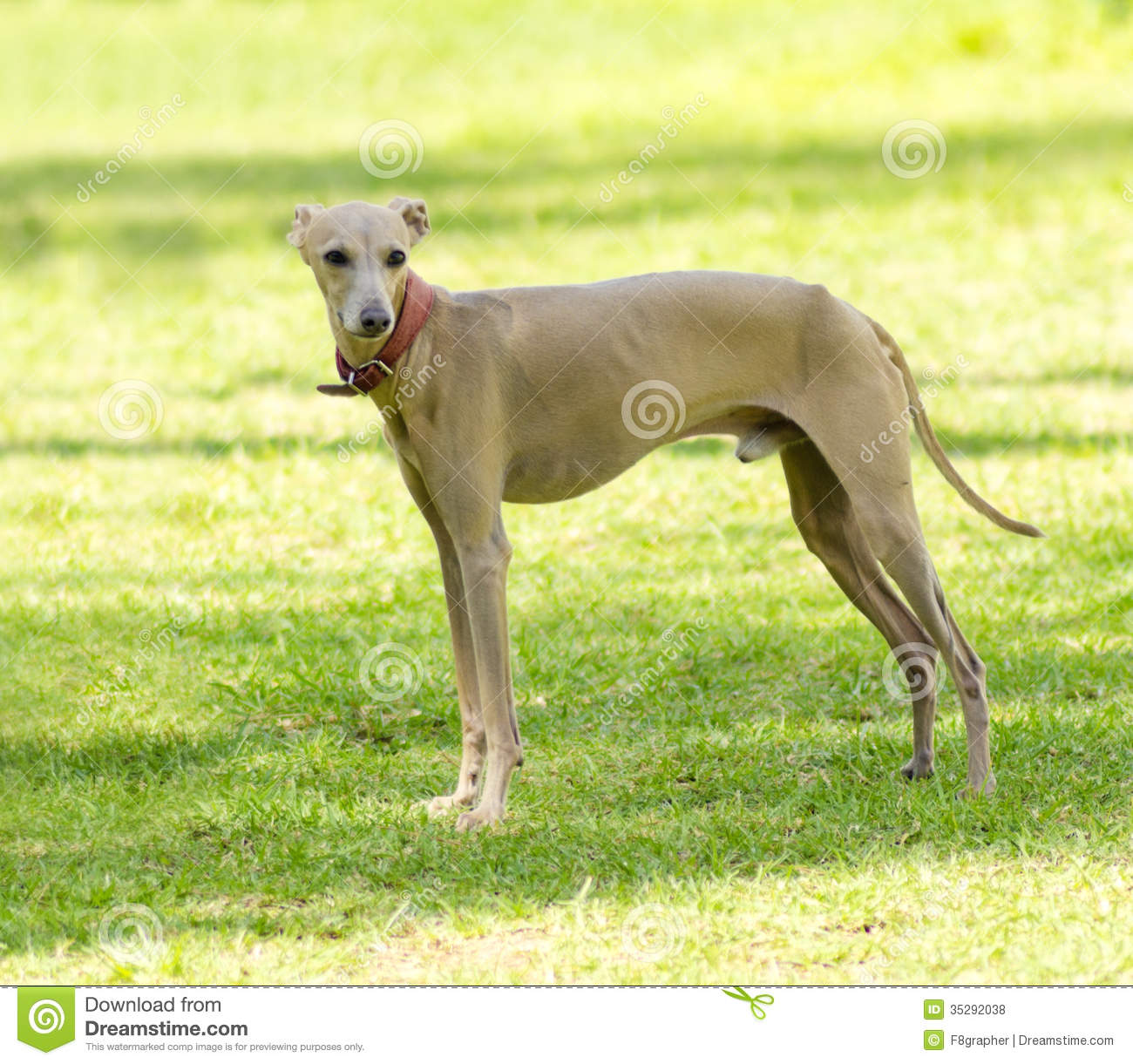 Small Fawn   Brown Italian Greyhound Dog Standing On The Lawn  Grey