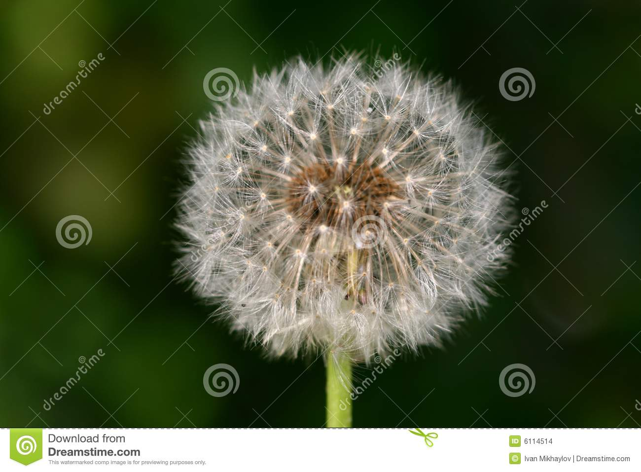 Wish Dandelion Stock Images   Image  6114514