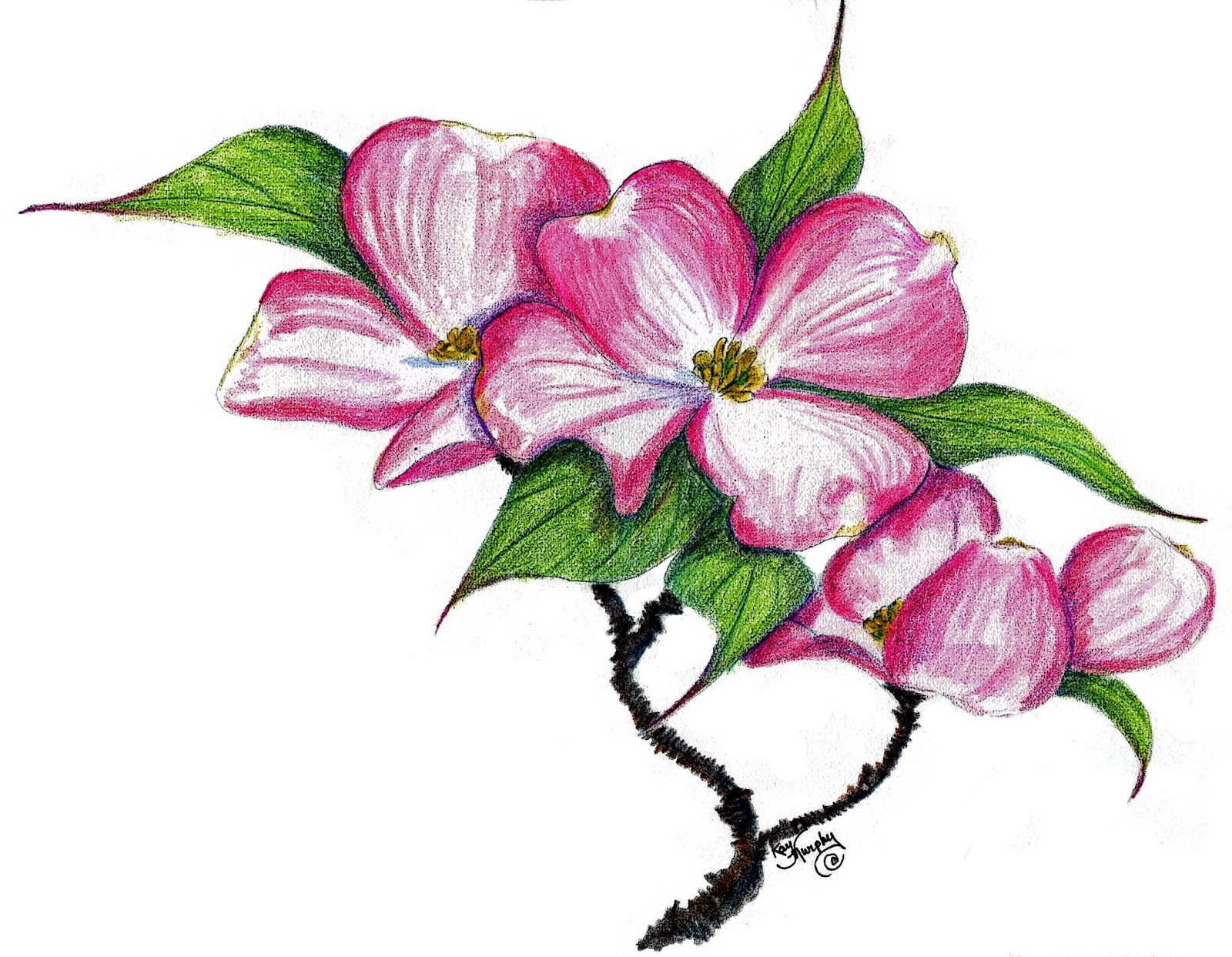 Dogwood Flower Line Drawing : Dogwood flower clipart suggest