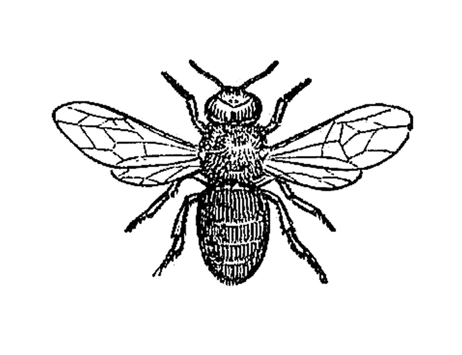 Insect Clip Art  Black And White Illustration Of Drone Bee Insect