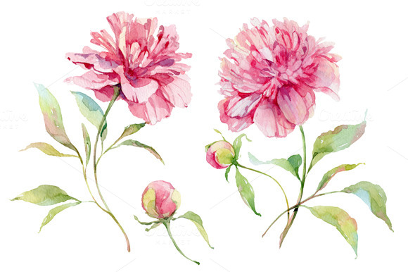 Watercolor Peonies Flower   Illustrations   1