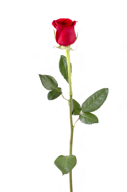 Single Rose Flower Category Single Fresh Flower Stems Price 50