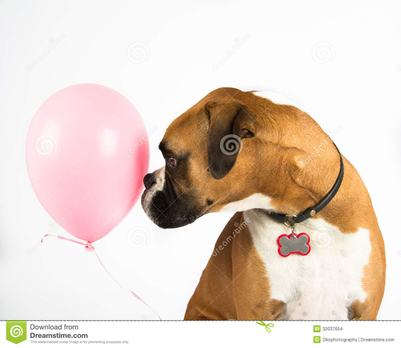 Boxer Dog And Pink Balloon Stock Images   Image  32037654
