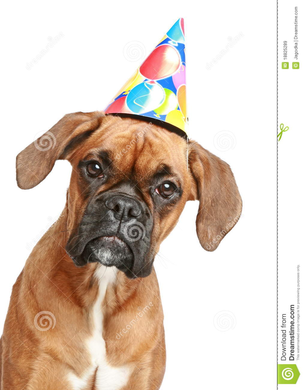 Close Up Portrait Of A Boxer Puppy In Party Cone On White Background