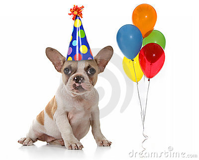 Sitting Puppy Dog With Birthday Party Hat And Balloons  Studio Shot