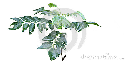 Indian Curry Leaves Royalty Free Stock Image   Image  34643426