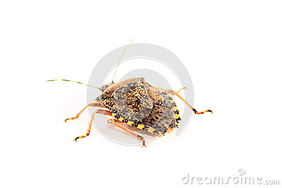 Brown Marmorated Stink Bug Halyomorpha Halys Isolated On White