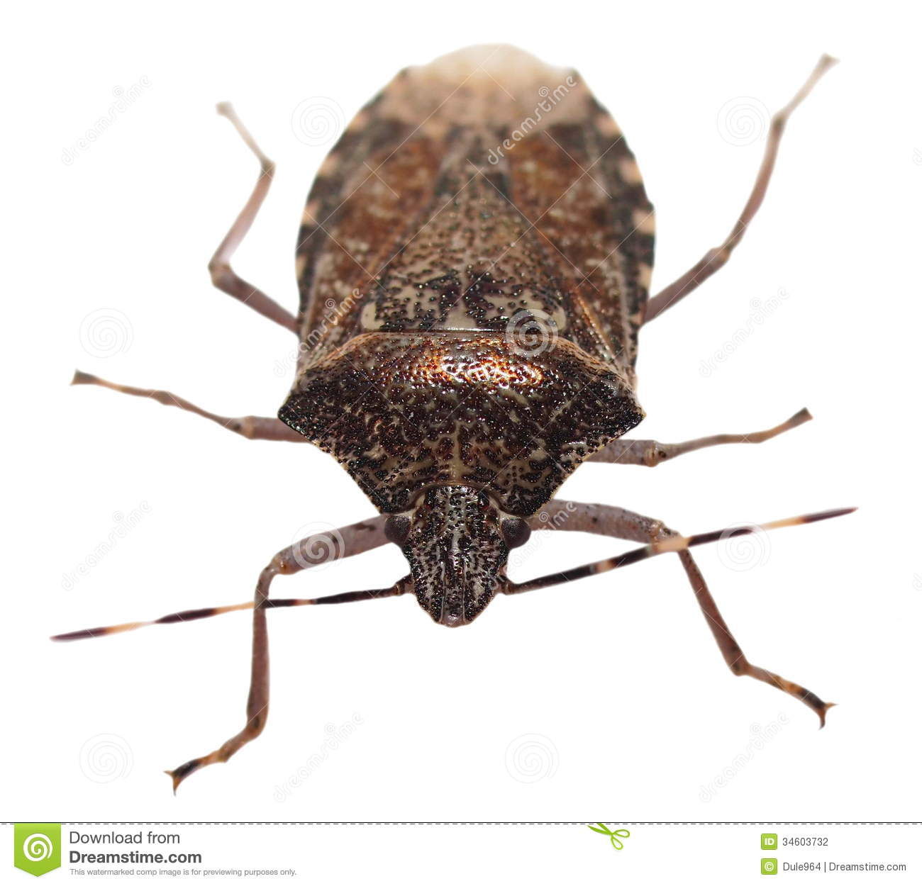 Brown Marmorated Stink Bug Isolated On White Stock Photography   Image
