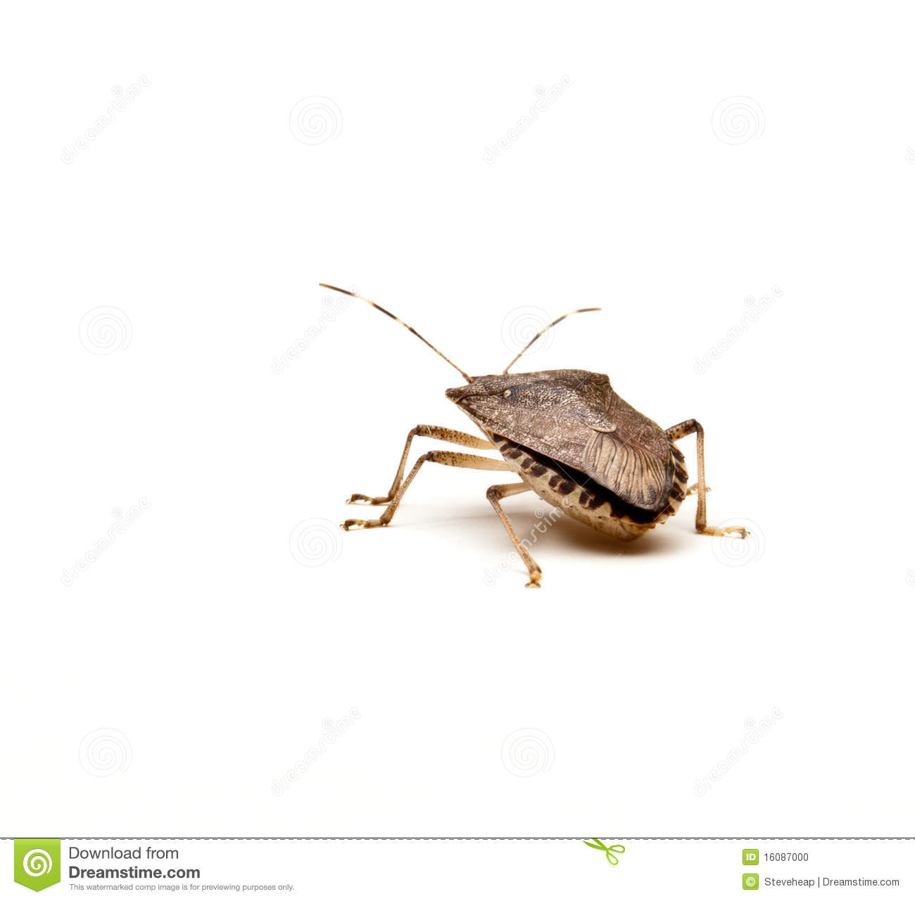Brown Marmorated Stink Bug Or Shield Bug Isolated Against White