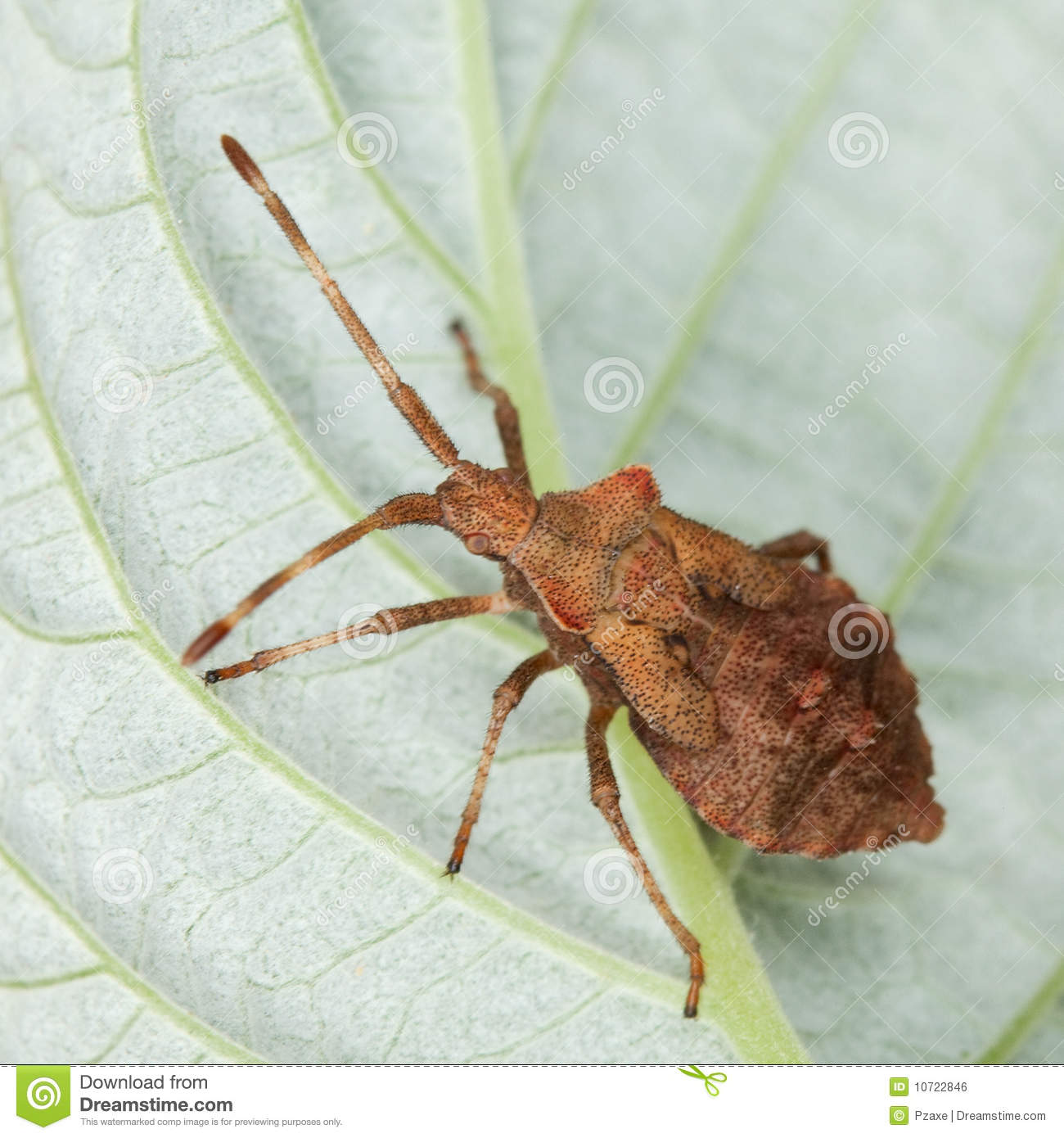 Brown Stink Bug Sitting On A Leaf Royalty Free Stock Image   Image