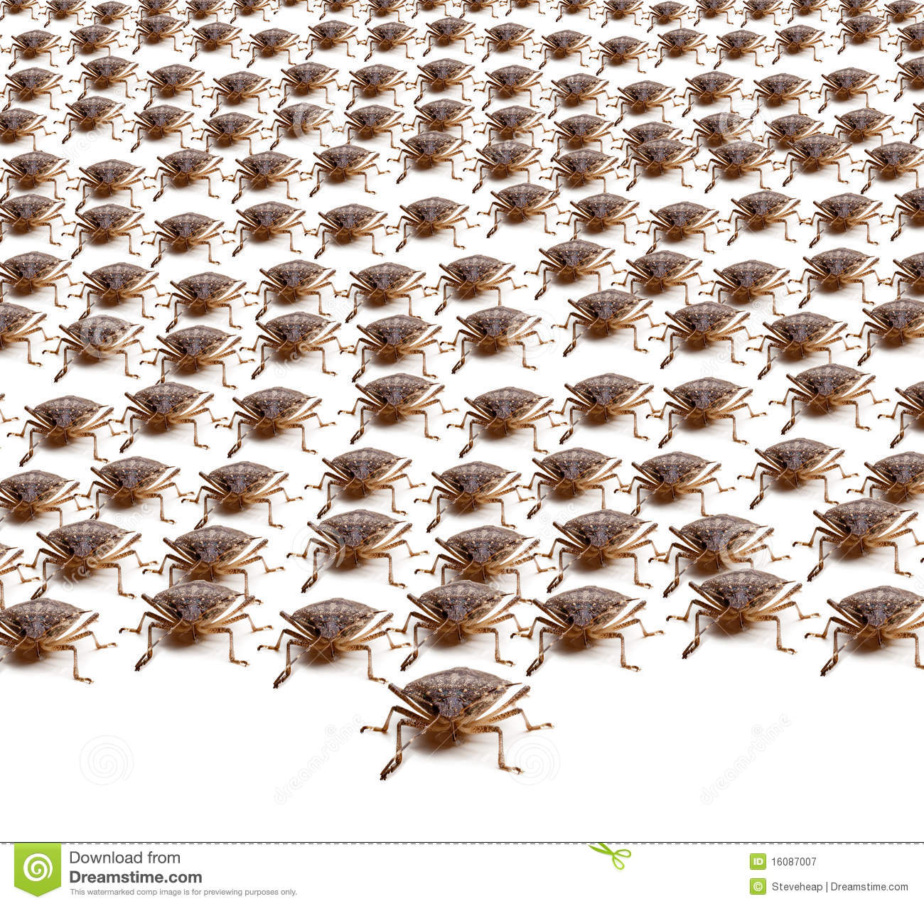 Large Crowd Of Brown Marmorated Stink Bug Or Shield Bug Isolated