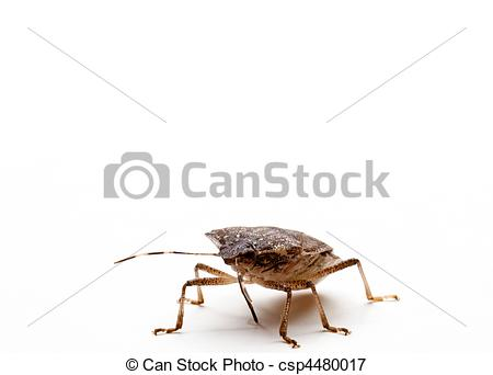 Picture Of Brown Stink Bug   Brown Marmorated Stink Bug Or Shield Bug