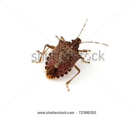 Stink Bug Clipart