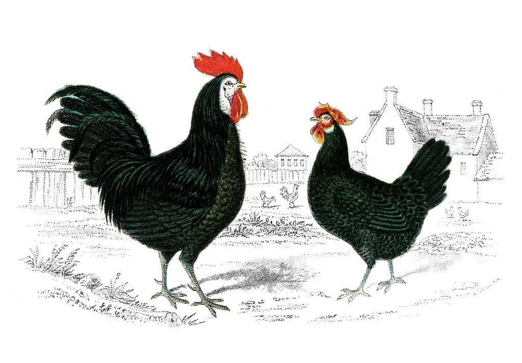 Free Vintage Image   Rooster Hen   The Graphics Fairy