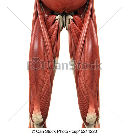 Muscular Leg Clip Art Upper Legs Muscles Anatomy